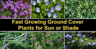fast growing ground cover plants with