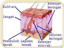 Hasil carian imej untuk kulit
