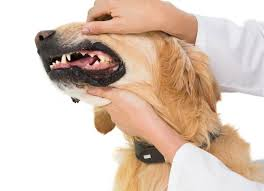 Dog Teeth Health Chart Your Dogs Gums Problems To Watch For