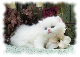 cute white fluffy kittens for sale. Plain White White Persian Kittens For Sale And Cute Fluffy E