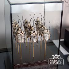 Decorative Display Cases Army Of Beetles In Glass Case Natural Curiosities
