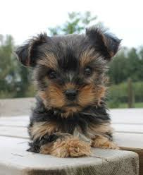 cute yorkie puppies for sale. Simple For Teacupsized Yorkie In Cute Puppies For Sale G
