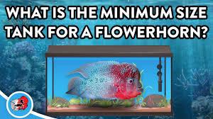 Aquarium Design For Flowerhorn What Tank Size For A Flowerhorn Flowerhornlove Com