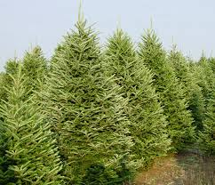 Choosing The Perfect Christmas Tree  Furnish BurnishWhat Kind Of Christmas Trees Are There