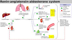 Renin Angiotensin System Wikipedia Renin Angiotensin