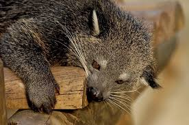 Small Picture The Binturong Fran Laffertys PAGE