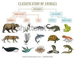 Bear Classification Chart Classification Animals Reptiles Amphibians Mammals Birds