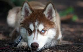 baby husky wallpaper. Contemporary Wallpaper Http1bpblogspotcomeVLBaQ6_3agTnPJPPFhPHI Husky Dog HD Wallpaper   With Baby