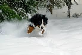 Jumping Dog Bernese Mountain - Free ...