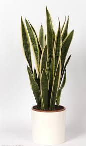 Цъфтящи стайни растения красят не само слънчеви первази. Modni Stajni Rasteniya 7 Stajni Rasteniya Za Moderen Interior 2019 2020