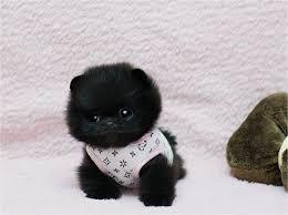 black pomeranian teddy bear cut. Delighful Bear Black Cuteness Fluffball Fluffy Furry Fuzzy Pom Teacup Puppies Teddy  Bear Tiny For Black Pomeranian Teddy Bear Cut Y