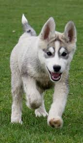 the siberian husky is a por dog breed with well known markings