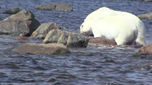 polar bear eating baby whale in the hudson bay pt