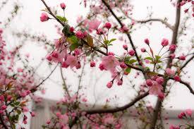 Bunga Sakura Cara Menanam Bunga Sakura Di Indonesia Agar Dapat Berbunga