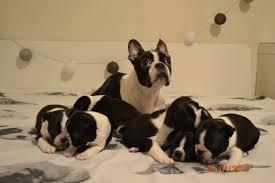KC register Boston Terrier puppies ...