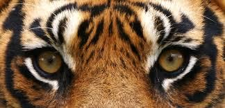"""Képtalálat a következőre: """"tiger eye"""""""