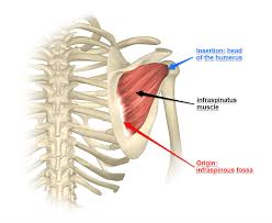 exploring the infraspinatus and teres minor muscles
