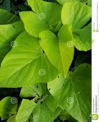 Light Green Sweet Potato Vine Sweet Potato Vine Plant In Light Green Background And