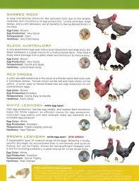 Live Chicks Chickens Ducks Turkeys Guineas Pheasants