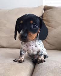 Pin by Adam Littau on Dog | Cute dogs, Dachshund dog, Baby dogs
