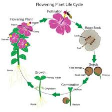 Plant Life Cycle Flow Chart Flowering Plants Life Cycle Lovetoknow