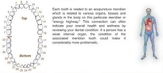 Tooth Meridian Chart Meridian Tooth Chart The Relationship Between Teeth Vital