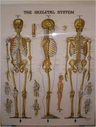 The Skeletal System Anatomical Chart Laminated Peter Bachin
