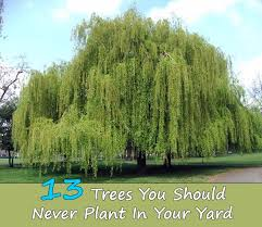 13 Trees You Should Never Plant In Your Yard - Home and Gardening Ideas