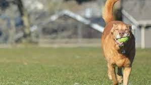 Have you seen him? Woman's beloved dog missing after she dies in crash    KOMO