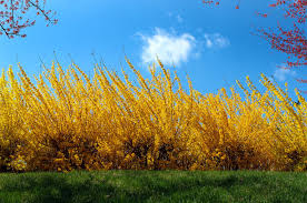 Image result for ​Fiesta Forsythia landscaping