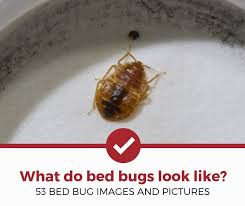 Size Of Bed Bugs Chart What Do Bed Bugs Look Like 53 Pictures Of Bed Bugs Pest