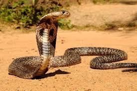 cobra snake wallpaper