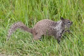 North american rock squirrels