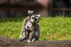 lemur mother and babies photo by busch gardens