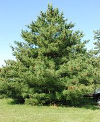 Image result for white pine