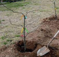 Planting Your Backyard Orchard  Dave Wilson NurseryPlanting A Fruit Tree