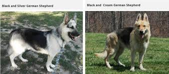 black and silver german shepherd. Interesting And Source In Black And Silver German Shepherd S