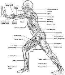 human-muscular-system-diagram-363 | Diagram Picture | biogeo3eso ...