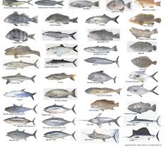 Florida Saltwater Fishing Regulations Chart Fishingregulations