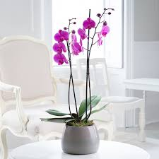 double stem pink orchid in pot