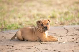 There are four main pitbull breeds known today the american pitbull terrier is the most popular pitbull breed, and often the one people refer to when. Staffordshire Bull Terrier Dog Breed Information