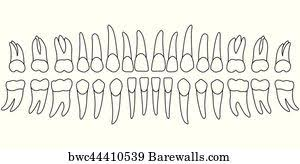 Jaw Chart 33 Teethed Upper Jaw Posters And Art Prints Barewalls