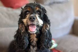 Cocker Spaniel Weight Whats Ideal
