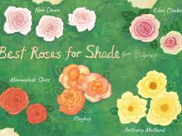 these are the best roses for your shade garden