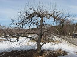 Fruit Tree Pruning  NH LandscapersDormant Fruit Trees