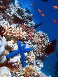 coral reefs cause and effect essay writework english a blue starfish linckia laevigata resting on hard acropora coral lighthouse