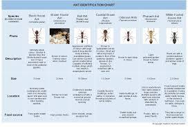 Ant Identification Chart Gosford City Pest Controlgosford