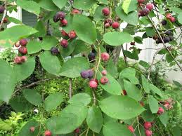 Image result for Serviceberry