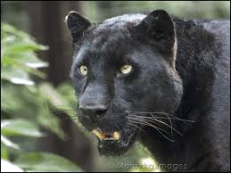 Download black wallpapers hd free background images collection, high quality background wallpaper images for your mobile phone. Free Download Black Leopard Wallpaper Forwallpapercom 808x606 For Your Desktop Mobile Tablet Explore 70 Black Cheetah Wallpaper Paint And Wallpaper Ideas