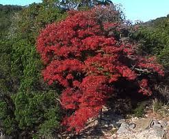 Image result for flame leaf sumac